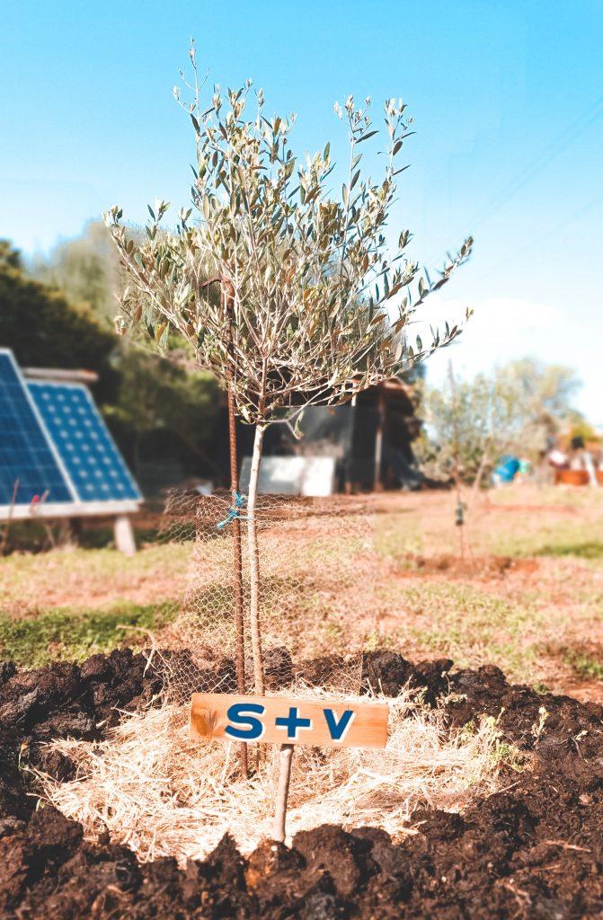 olijfboom Mallorca